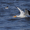 American White Pelican and Common Goldeneye <br /> below Melvin Price Dam <br /> Riverlands Migratory Bird Sanctuary