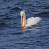 American White Pelican <br /> below Melvin Price Dam <br /> Riverlands Migratory Bird Sanctuary