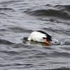 Common Goldeneye <br /> below Melvin Price Dam <br /> Riverlands Migratory Bird Sanctuary