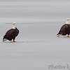 Bald Eagles <br /> Ellis Bay <br /> Riverlands Migratory Bird Sanctuary