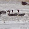 Northern Pintails <br /> Confluence Road