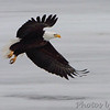 Bald Eagle <br /> Ellis Bay <br /> Riverlands Migratory Bird Sanctuary