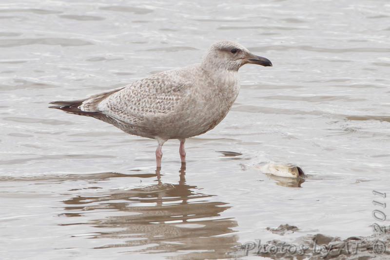 Thayer's Gull <br /> Ellis Bay <br /> Riverlands Migratory Bird Sanctuary