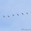 Greater White-fronted Geese <br /> Illinois