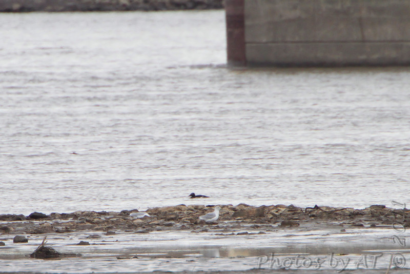White-winged Scoter <br /> Swimming along channel upstream from state line in Missouri.<br /> See first photo/map in gallery for yellow sight line.