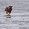 Bald Eagle <br /> Portage Des Sioux  <br /> 2/17/11