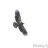 Bald Eagle <br /> Illinois