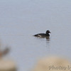 White-winged Scoter <br /> Just above dam next to jetty  <br /> Riverlands Migratory Bird Sanctuary <br /> Illinois