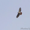 Red-tailed Hawk <br /> Illinois