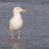 Herring Gull <br /> Ellis Bay <br /> Riverlands Migratory Bird Sanctuary <br /> 2/17/11