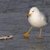 Ring-billed Gull <br /> Ellis Bay <br /> Riverlands Migratory Bird Sanctuary <br /> 2/17/11