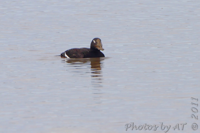 """""""Ole muddy face""""<br /> White-winged Scoter <br /> Just above dam next to jetty  <br /> Riverlands Migratory Bird Sanctuary <br /> Illinois"""