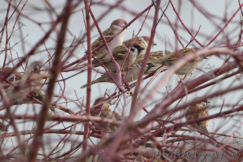 Eurasian Tree Sparrows <br /> Red School Road <br /> Riverlands Migratory Bird Sanctuary Area <br /> 2/17/11