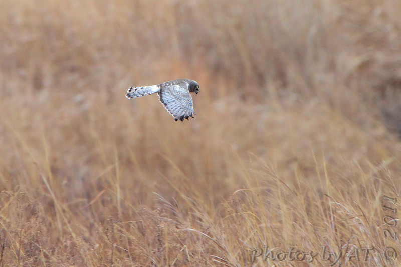 Northern Harrier (male) <br /> Riverlands Migratory Bird Sanctuary