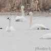 Crop of last photo <br /> Trumpeter Swans and two Tundra Swans <br /> 2nd Tundra bottom feeding in front<br /> Columbia Bottom Conservation Area