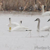 Trumpeter Swans <br /> Tundra Swan (left back) <br /> Columbia Bottom Conservation Area