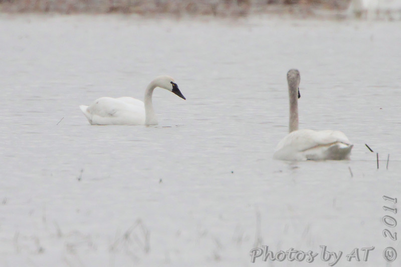 Tundra and Trumpeter Swan <br /> Columbia Bottom Conservation Area
