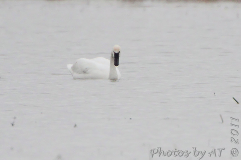 Tundra Swan <br /> Columbia Bottom Conservation Area