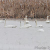 Trumpeter Swans and two Tundra Swans <br /> 2nd Tundra bottom feeding in front<br /> Columbia Bottom Conservation Area