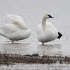 Trumpeter Swan <br /> Columbia Bottom Conservation Area