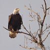 Bald Eagle <br /> Maple Island Road <br /> Riverlands Migratory Bird Sanctuary