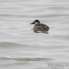 Ruddy Duck <br /> Ellis Bay <br /> Riverlands Migratory Bird Sanctuary