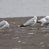 Ring-billed Gulls <br /> Ellis Bay <br /> Riverlands Migratory Bird Sanctuary