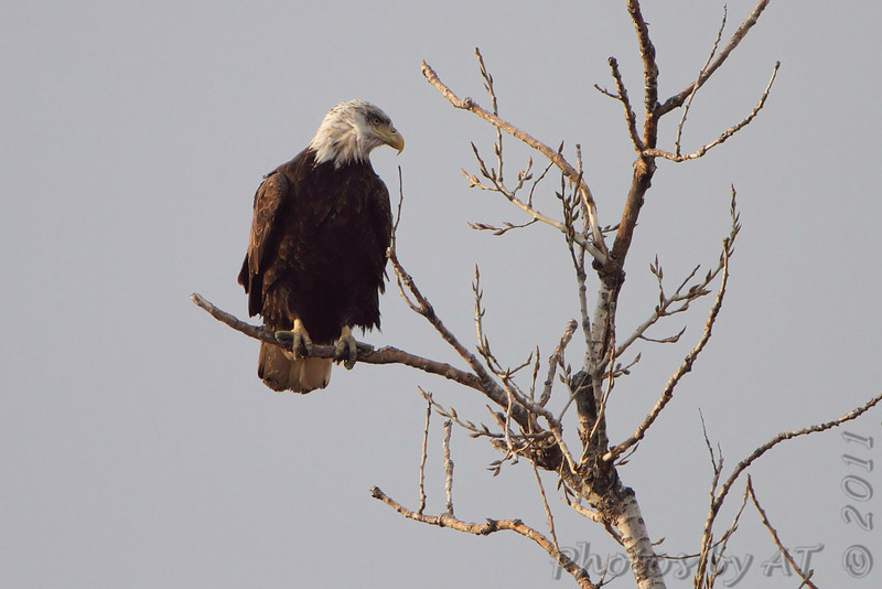 Bald Eagle <br /> Maple Island Road <br /> Riverlands Migratory Bird Sanctuary