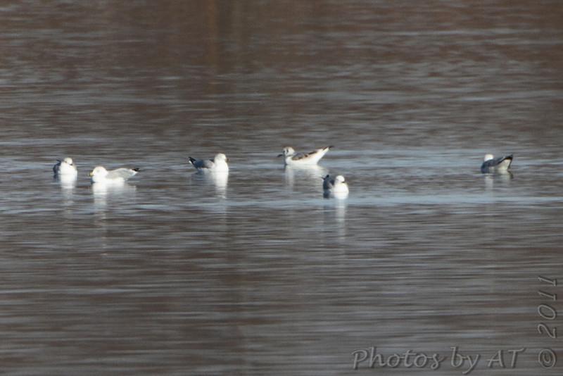 "Black-legged Kittiwake  and Ring-billed Gulls  Smithville Lake   No. 298 on my Lifetime List of Birds  Photographed in Missouri <a href=""/Birds/Missouri-Bird-Photos-A-G/3272272_hQkxo#1202736095_MzzYv"">here</a>"
