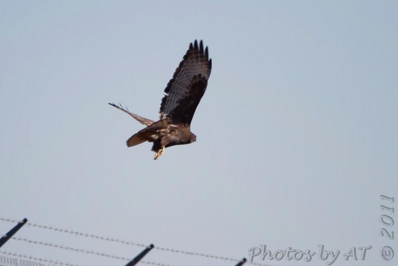 Red-tailed Hawk (Western - Dark-morph) <br /> Bridgeton