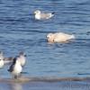 Glaucous Gull <br /> Ellis Bay <br /> Riverlands Migratory Bird Sanctuary