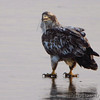 Bald Eagle <br /> Ellis Bay <br /> Riverlands Migratory Bird Sanctuary