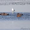 Gadwall <br /> Teal Pond <br /> Riverlands Migratory Bird Sanctuary