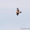 Northern Harrier <br /> Confluence State Park