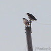 Red-tailed Hawks <br /> Red School and Confluence Road