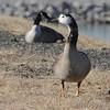 Canada Goose <br /> Teal Pond <br /> Riverlands Migratory Bird Sanctuary