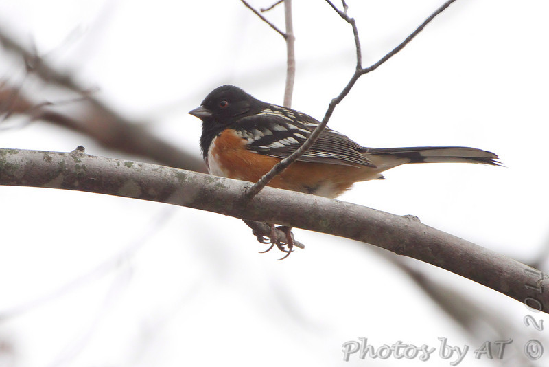 Spotted Towhee <br /> Linn, Mo.