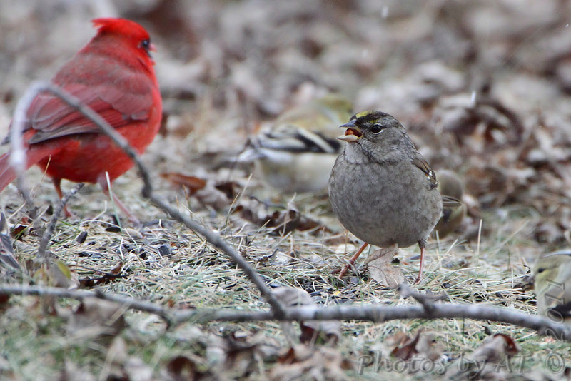 Golden-crowned Sparrow <br /> Northern Cardinal and American Goldfinches <br /> Linn, Mo.
