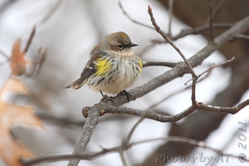 Yellow-rumped Warbler (Myrtle's)  <br /> Bridgeton, Mo. <br /> 1/31/2011