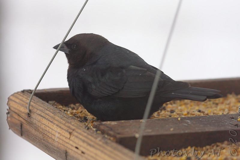 Brown-headed Cowbird <br /> Bridgeton, Mo. <br /> 1-12-2011