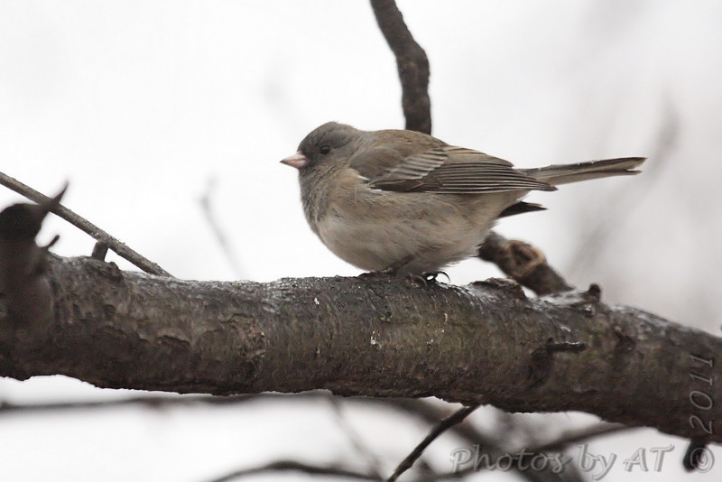 Dark-eyed Junco <br /> Bridgeton, Mo. <br /> 1/31/2011
