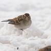 Chipping Sparrow <br /> Bridgeton, Mo. <br /> 1/21/2011