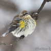 Yellow-rumped Warbler (Myrtle's)  <br /> Bridgeton, Mo. <br /> 1/23/2011