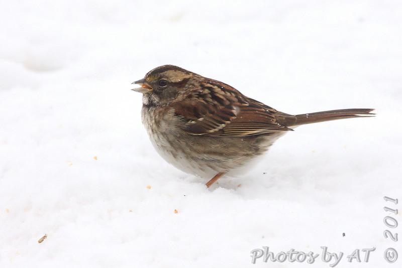 White-throated Sparrow<br /> Bridgeton, Mo. <br /> 1/23/2011