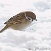 Eurasian Tree Sparrow <br /> Bridgeton, Mo. <br /> 1/21/2011