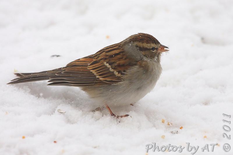 Chipping Sparrow <br /> Bridgeton, Mo. <br /> 1/23/2011