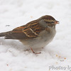 Chipping Sparrow <br /> Bridgeton, Mo. <br /> 1/23/2011