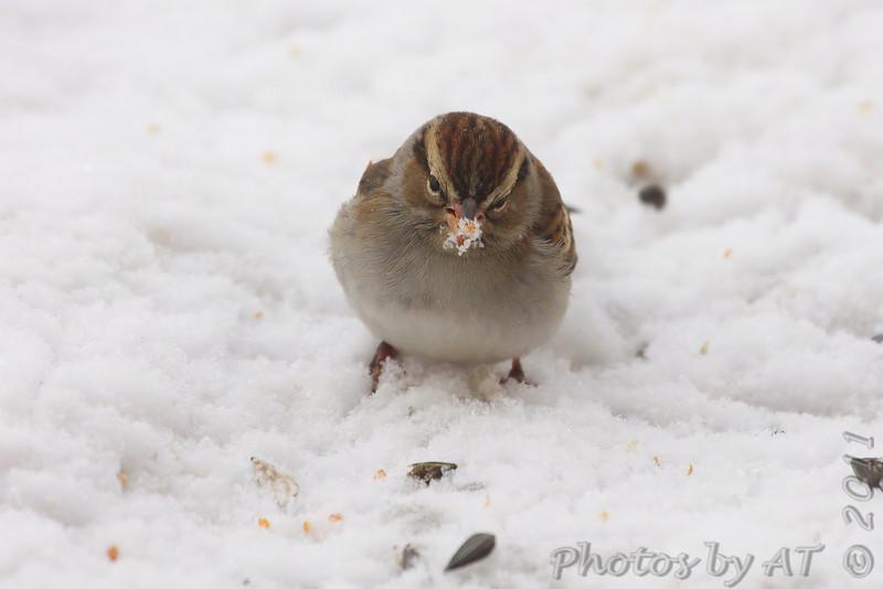Chipping Sparrow <br /> City of Bridgeton <br /> St. Louis County, Missouri . <br /> 1/23/2011
