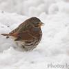 Fox Sparrow <br /> Bridgeton, Mo. <br /> 1/21/2011