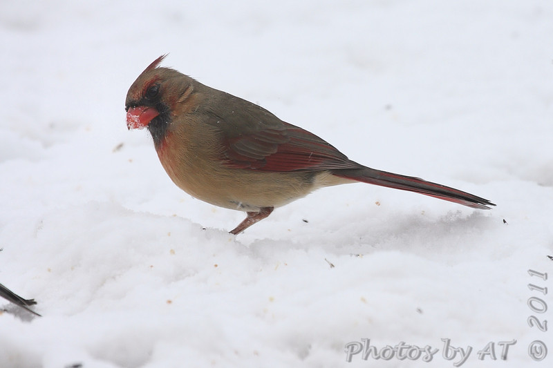 Northern Cardinal <br /> Bridgeton, Mo. <br /> 1/23/2011